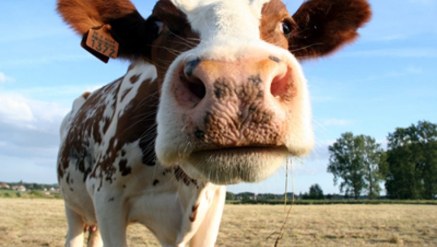 What Do You Mean, Contented Cows?