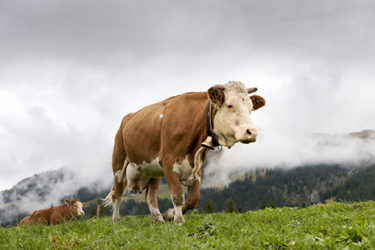 We Need More Bell Cows